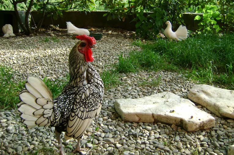 Gallina animale da compagnia